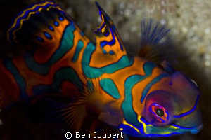 Mandarin Fish... a true test of your patience... by Ben Joubert 